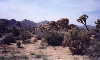 Rock pile and Joshua tree